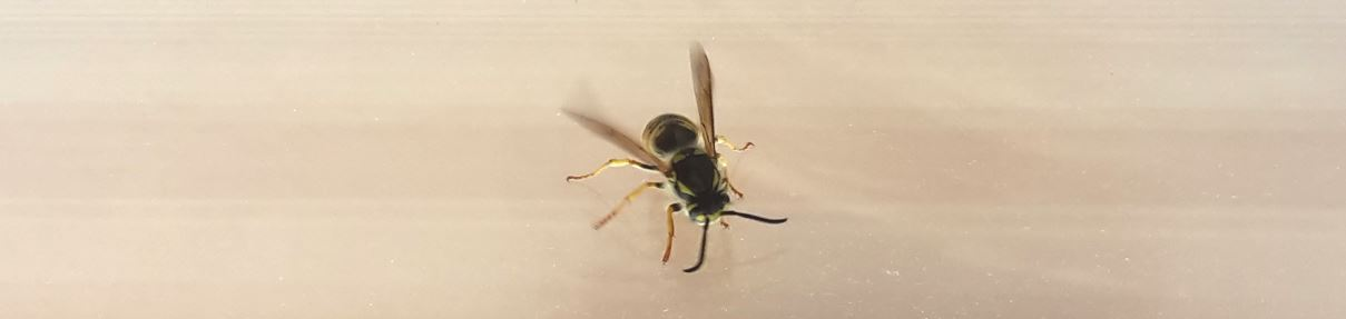 Was-hilft-gegen-Wespen-Wespe