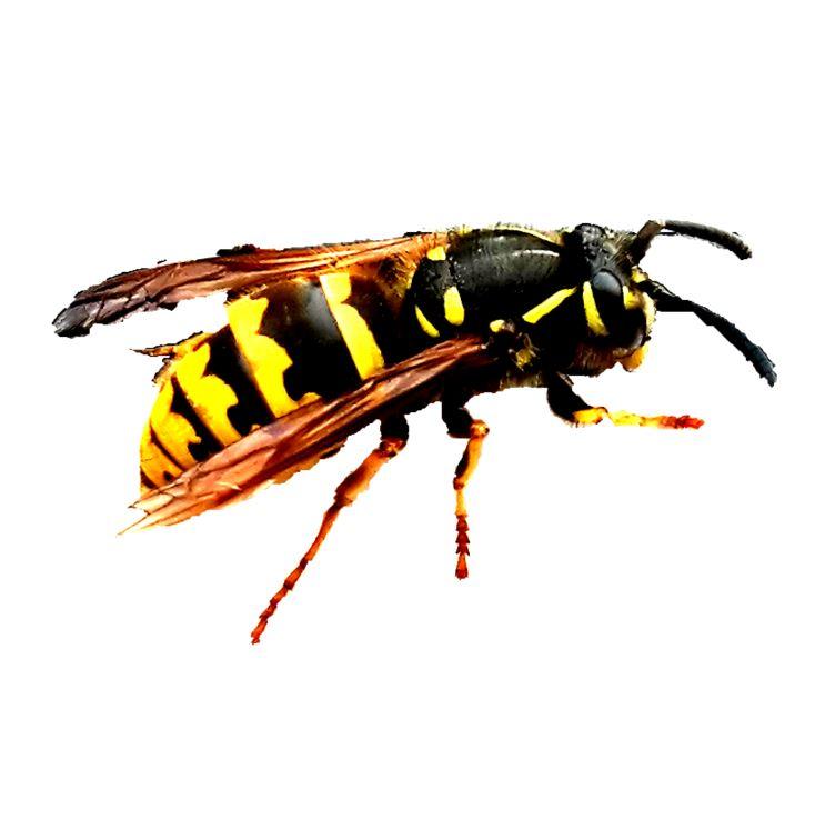 Was-hilft-gegen-Wespen